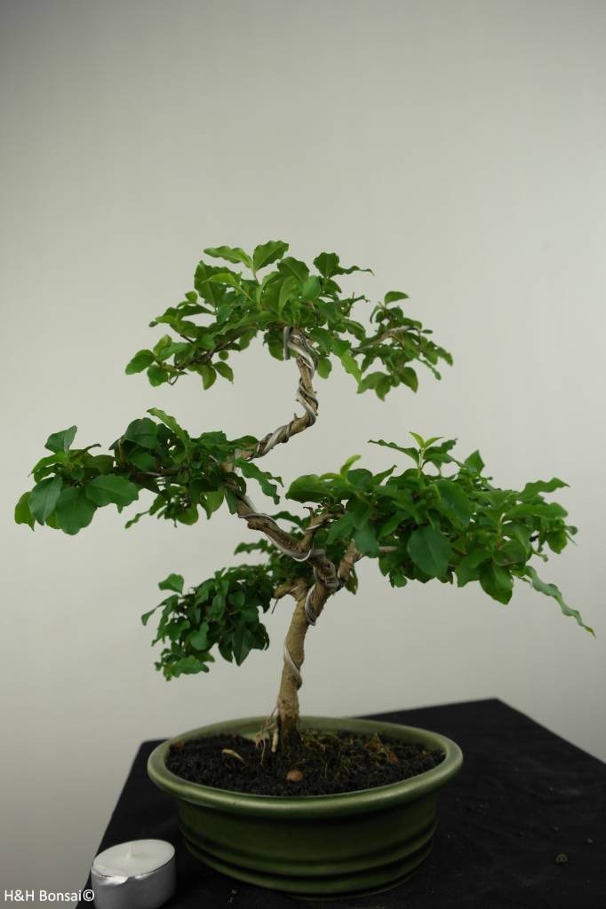 Bonsai Ligustrum sinense, nr. 7226