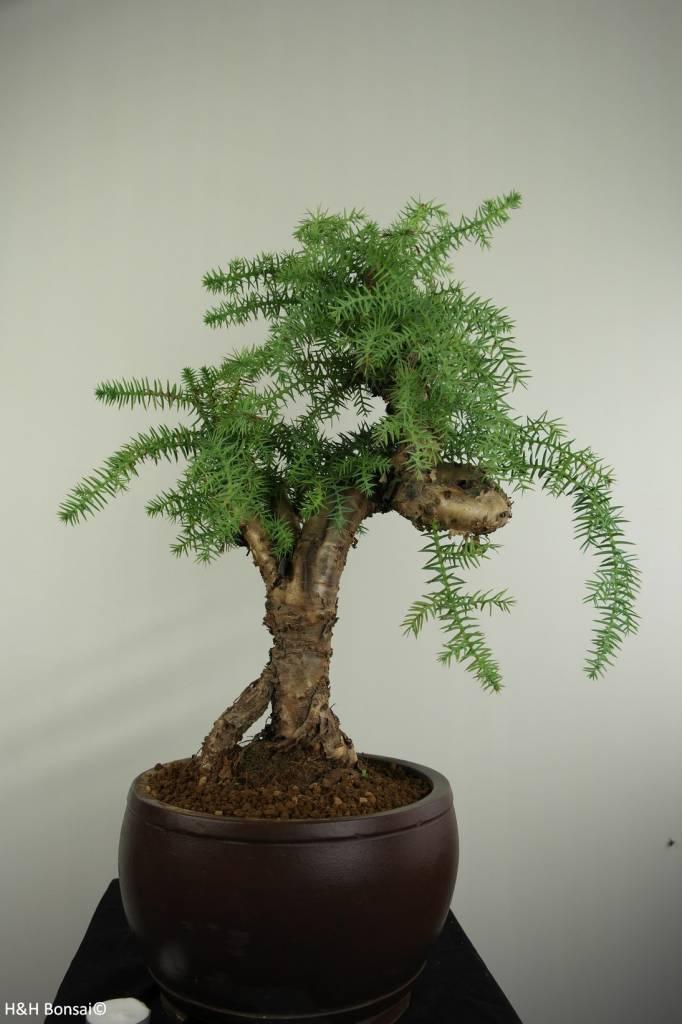 Bonsai Araucaria, nr. 7232