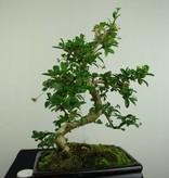 Bonsai Fukientee, Carmona macrophylla, nr. 7240