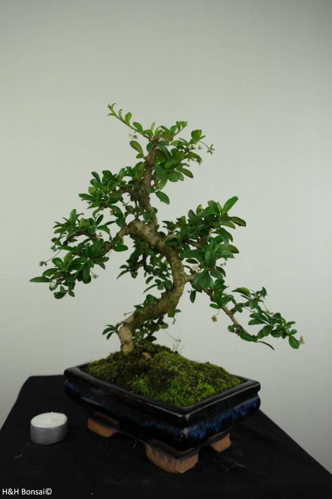 Bonsai Fukien Tea,Carmona macrophylla, no. 7240