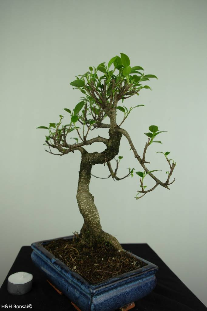 Bonsai Chin. Feigenbaum, Ficus retusa, nr. 7276