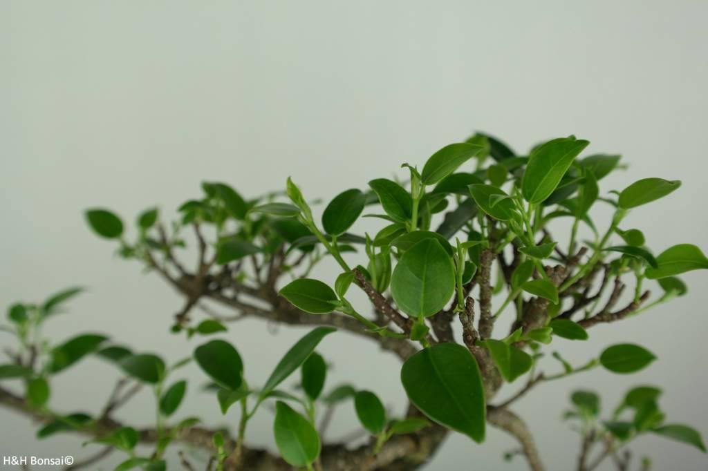 Bonsai Ficus retusa, nr. 7276