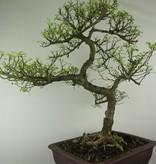 Bonsai Zanthoxylum piperitum, nr. 7293