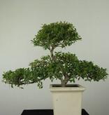 Bonsai Japanische Stechpalme, Ilex crenata, nr. 6721