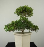 Bonsai Ilex crenata, Japanse hulst, nr. 6721