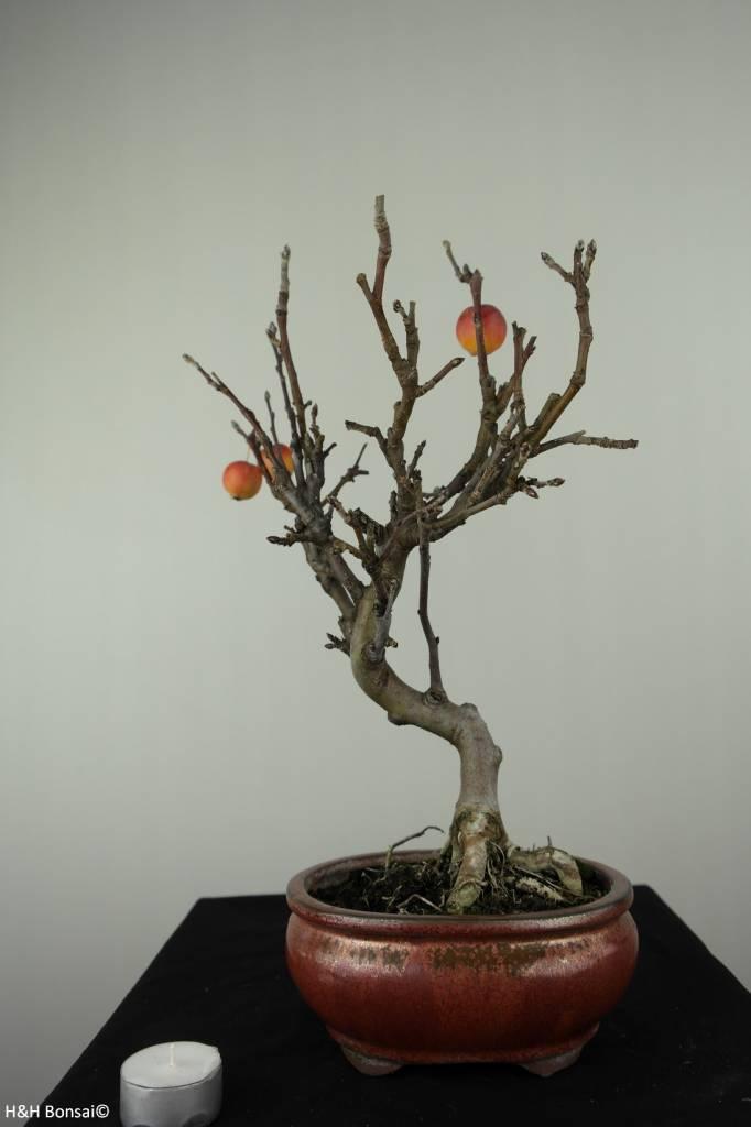 Bonsai Hall crab apple, Malus halliana, no. 6612