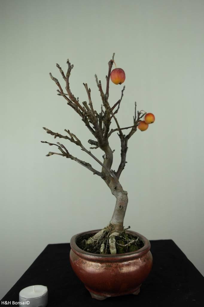 Bonsai Malus halliana, Appel, nr. 6612