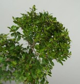 Bonsai Ilex crenata, Japanse hulst, nr. 6718
