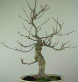 Bonsai Ilex serrata, nr. 6780