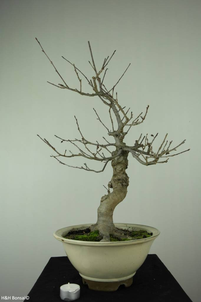 Bonsai Jap. Winterbeere, Ilex serrata, nr. 6780