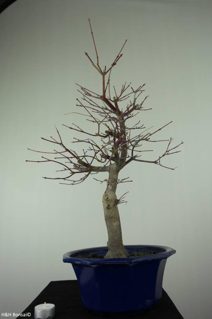 Bonsai Acer palmatum deshojo, Japanse esdoorn, nr. 6816