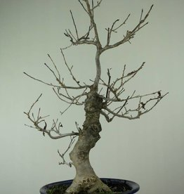 Bonsai Ilex serrata, no. 6955