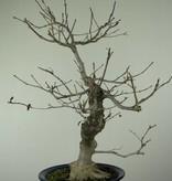 Bonsai Ilex serrata, no. 6955