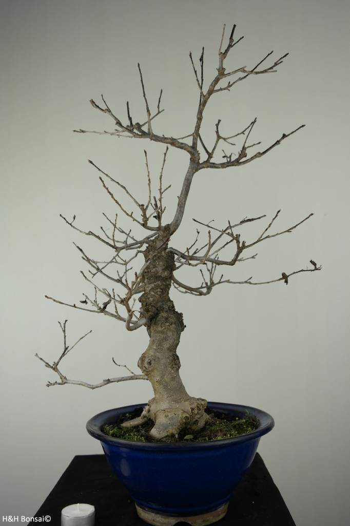 Bonsai Jap. Winterbeere, Ilex serrata, nr. 6955