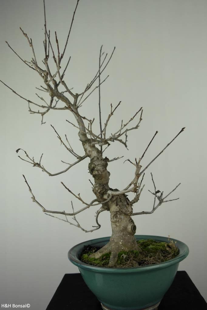 Bonsai Ilex serrata, no. 7048