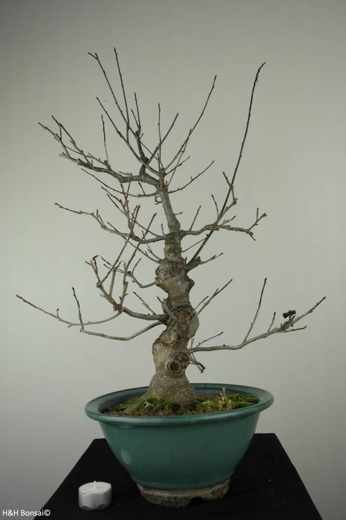 Bonsai Ilex serrata, Japanse winterbes, nr. 7048