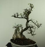 Bonsai Ulmus met rots, Chinese Iep, nr. 7307