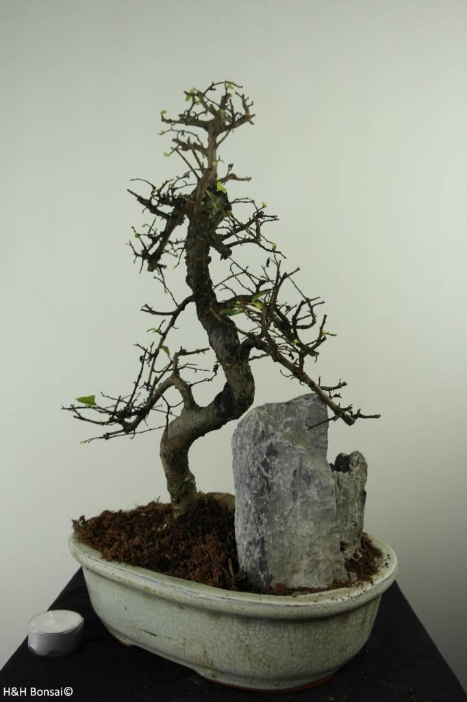 Bonsai Ulmus met rots, Chinese Iep, nr. 7308