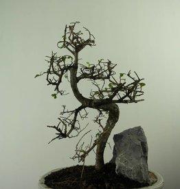 Bonsai Ulmus met rots, Chinese Iep, nr. 7309