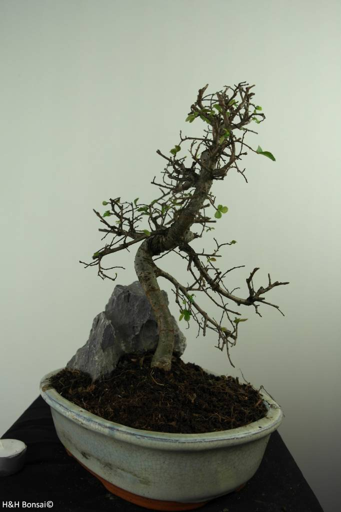 Bonsai Chinese Elm with rock, Ulmus, no. 7309
