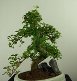 Bonsai Privet, Ligustrum nitida, no. 7318