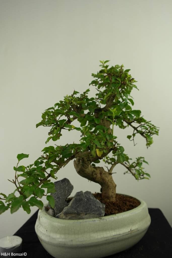 Bonsai Ligustrum nitida, Liguster, nr. 7318