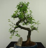 Bonsai Chinese Elm with rock, Ulmus, no. 7326