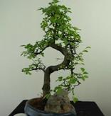 Bonsai Ulmus met rots, Chinese Iep, nr. 7326
