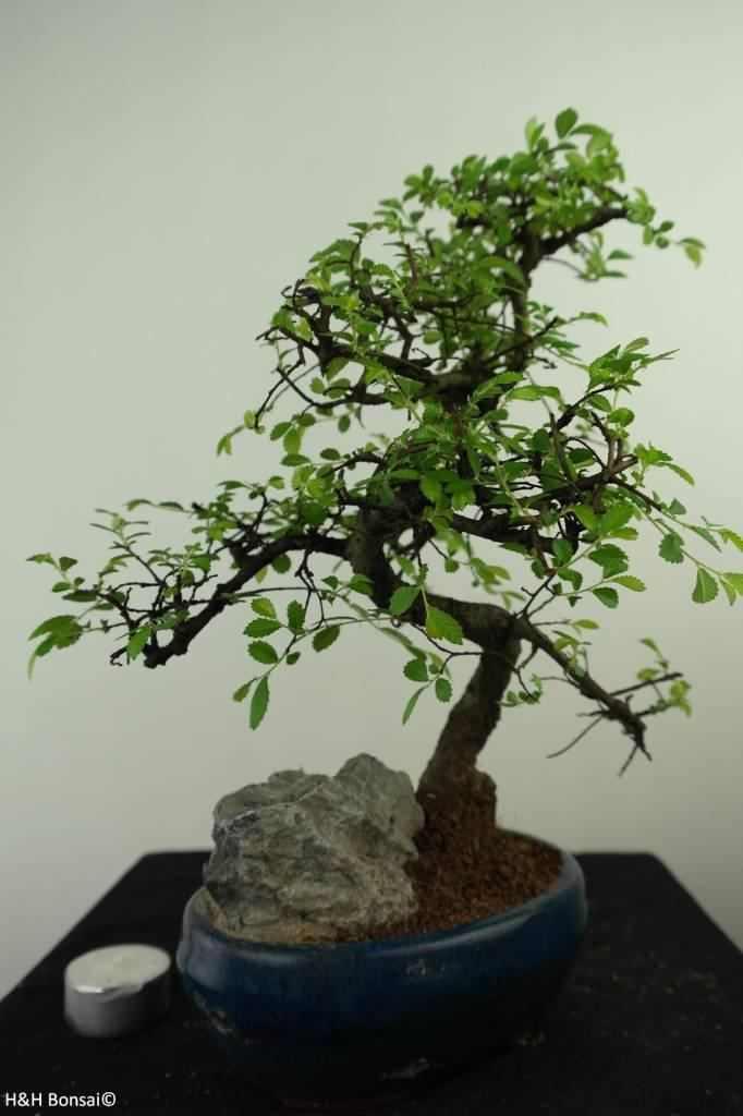 Bonsai Chinese Elm with rock, Ulmus, no. 7330