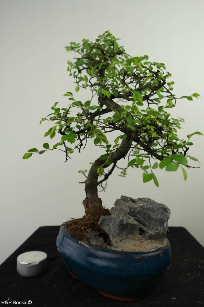 Bonsai Ulmus met rots, Chinese Iep, nr. 7330