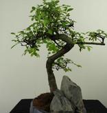 Bonsai Ulmus met rots, Chinese Iep, nr. 7331