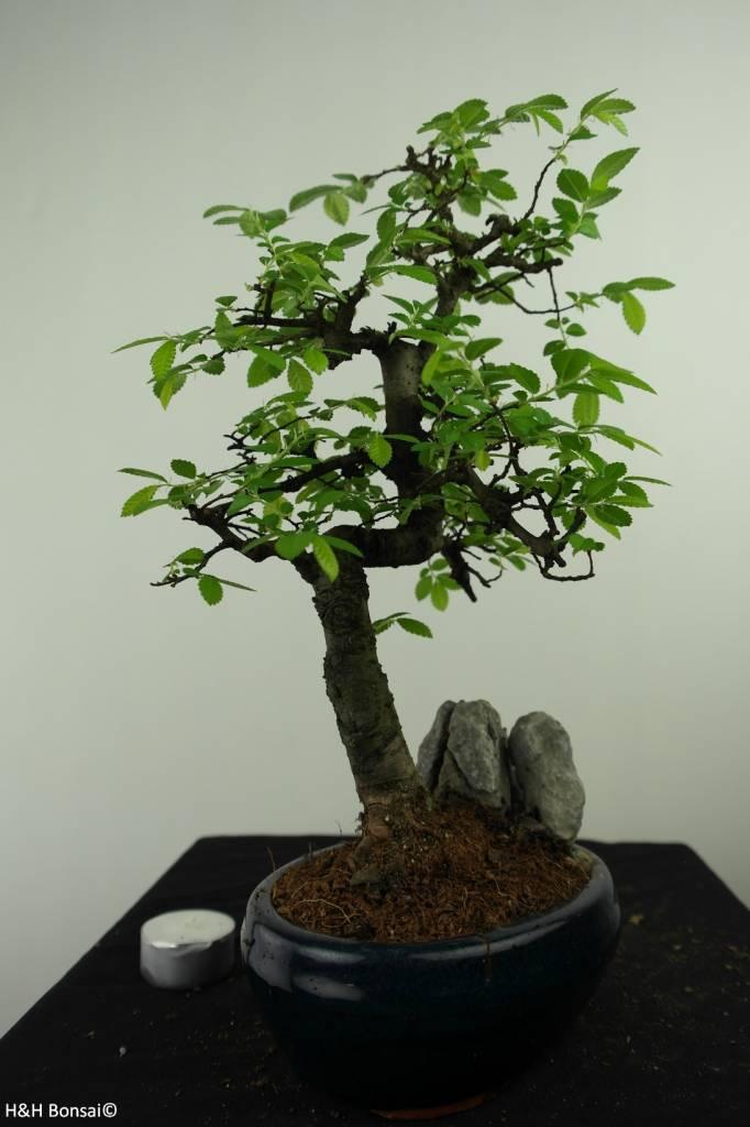 Bonsai Chin. Ulme mit Stein, Ulmus, nr. 7332