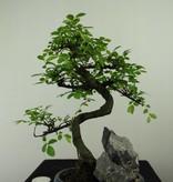 Bonsai Ulmus met rots, Chinese Iep, nr. 7333