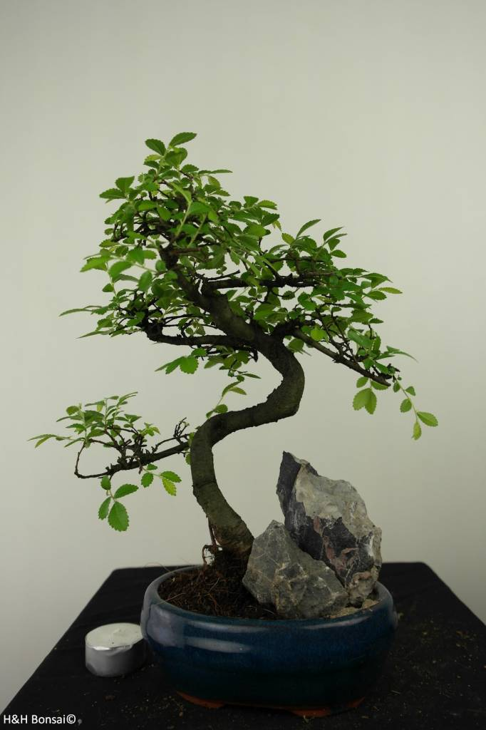 Bonsai Chin. Ulme mit Stein, Ulmus, nr. 7333