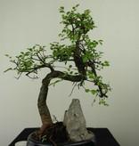 Bonsai Chin. Ulme mit Stein, Ulmus, nr. 7334