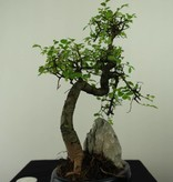 Bonsai Ulmus met rots, Chinese Iep, nr. 7334