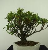 Bonsai Azalea Rhododendron indicum, nr. 7343