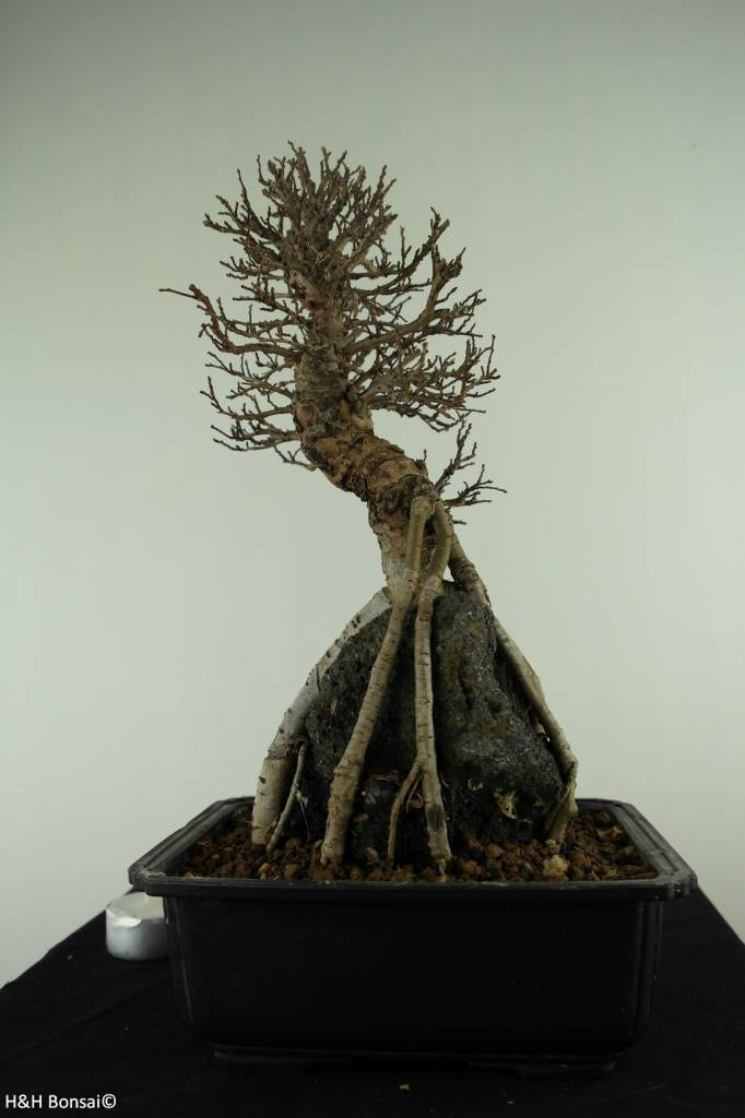 Bonsai Zelkova nire, no. 7349