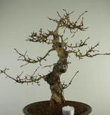 Bonsai Crataegus cuneata, Meidoorn, nr. 7352