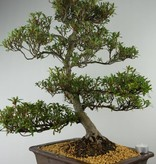 Bonsai Azalea Satsuki Hakurin, nr. 7355