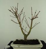 Bonsai Acer palmatum Batafurai, Butterfly, nr. 7375