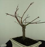 Bonsai Acer palmatum Batafurai, Butterfly, nr. 7376