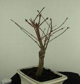 Bonsai L'Erable du Japon,Acer PalmatumBatafurai, no. 7378