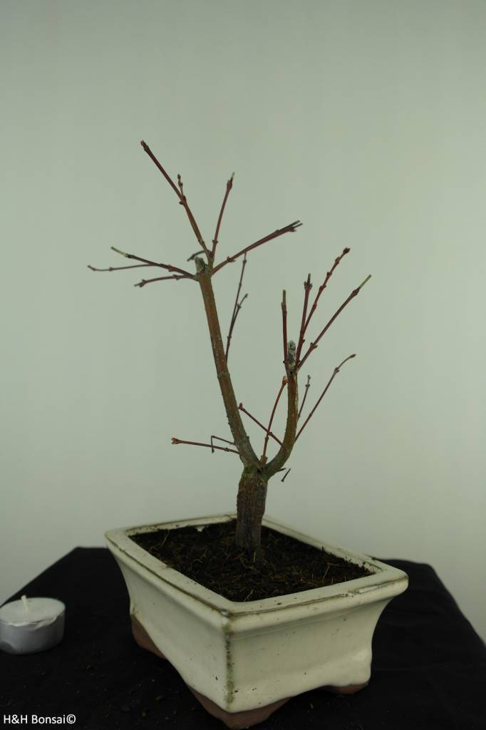 Bonsai Acer palmatum Batafurai, Butterfly, nr. 7380