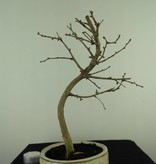 Bonsai Goldlärche, Pseudolarix amabilis, nr. 7390