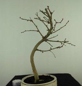 Bonsai Pseudolarix amabilis,Japanse goudlarix, nr. 7390