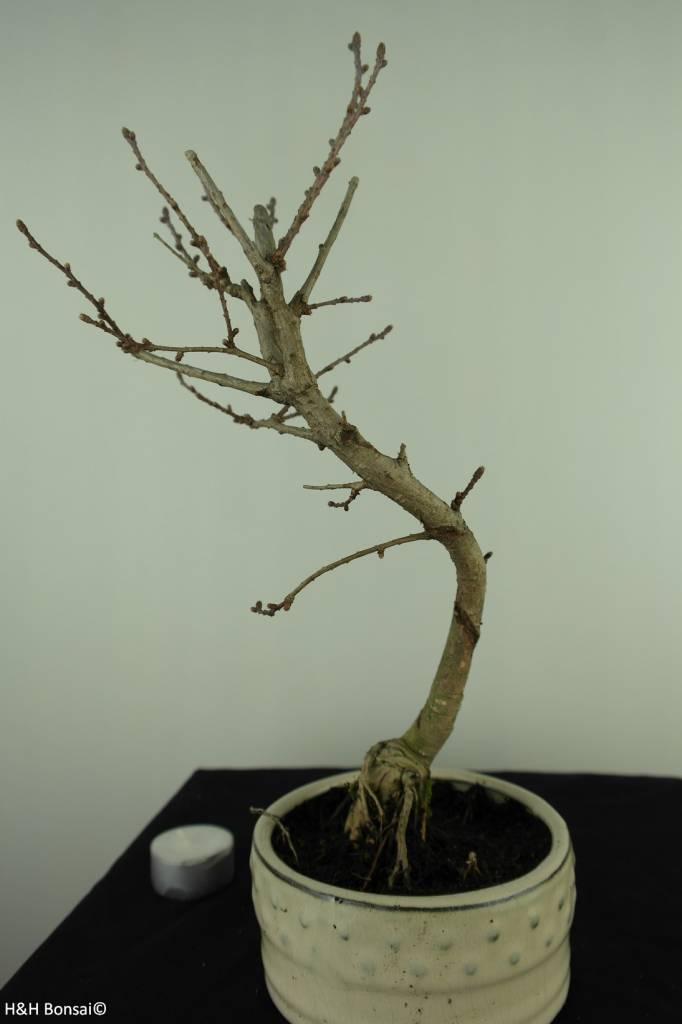 Bonsai Goldlärche, Pseudolarix amabilis, nr. 7392
