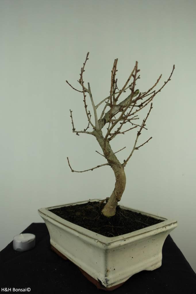 Bonsai Goldlärche, Pseudolarix amabilis, nr. 7401
