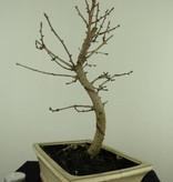 Bonsai Goldlärche, Pseudolarix amabilis, nr. 7404