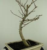 Bonsai Pseudolarix amabilis,Japanse goudlarix, nr. 7404